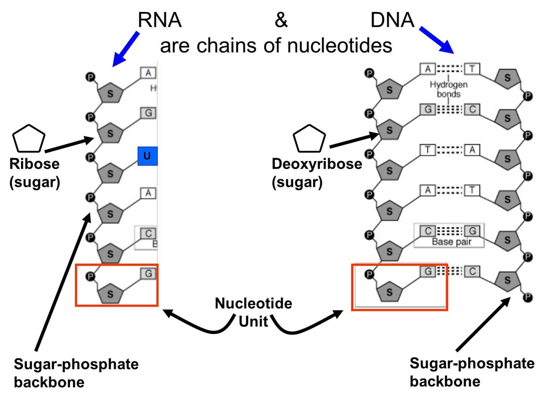 amino acids rna diagram in which structure is responsible for bringing in the amino acids diagram